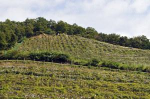 ココファームのぶどう畑