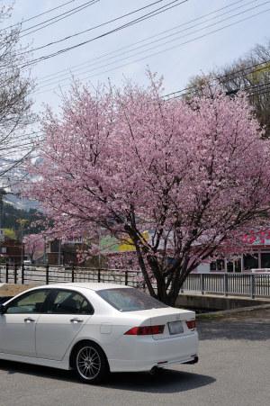 セブンイレブンの桜