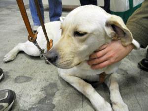アイメイトの盲導犬