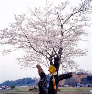 喜連川の桜2012