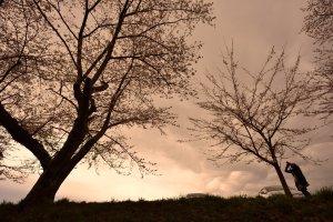 猪苗代の桜