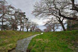 猪苗代で桜並木を発見