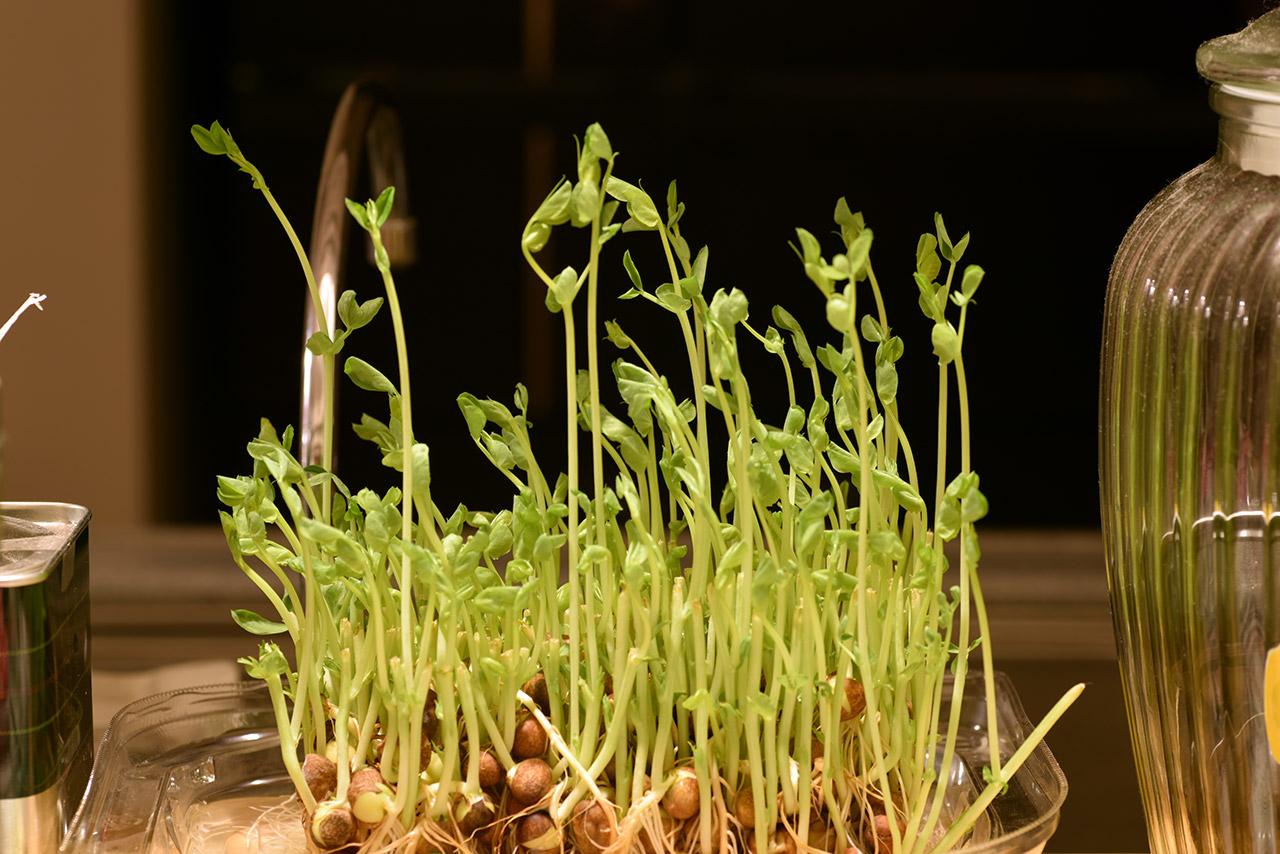 豆苗の成長