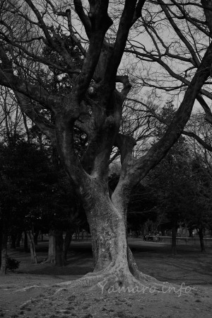 光が丘の木