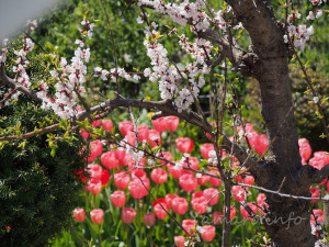 実家の桜とチューリップ