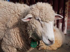 羊もふもふ