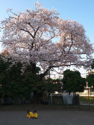 子供たちと桜