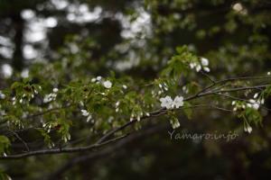 控えめな桜