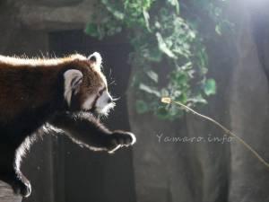 レッサーパンダに餌やり体験