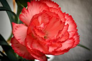 カーネーション開花