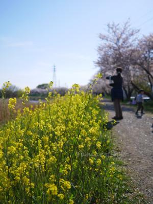 桜と菜の花?