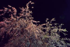 青森県内のPAは桜が