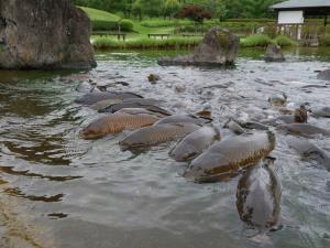 浅瀬に迫る鯉