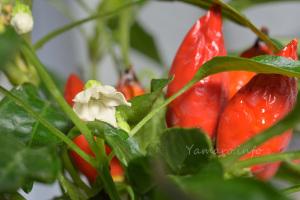 五色とうがらしの花