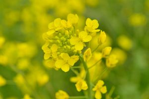 TAMRONのマクロで撮る菜の花