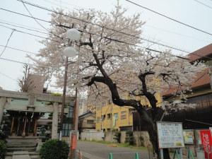 ご近所の見事な桜